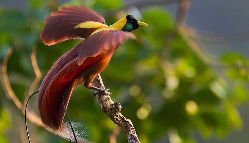 Un uccello tipico di Raja Ampat