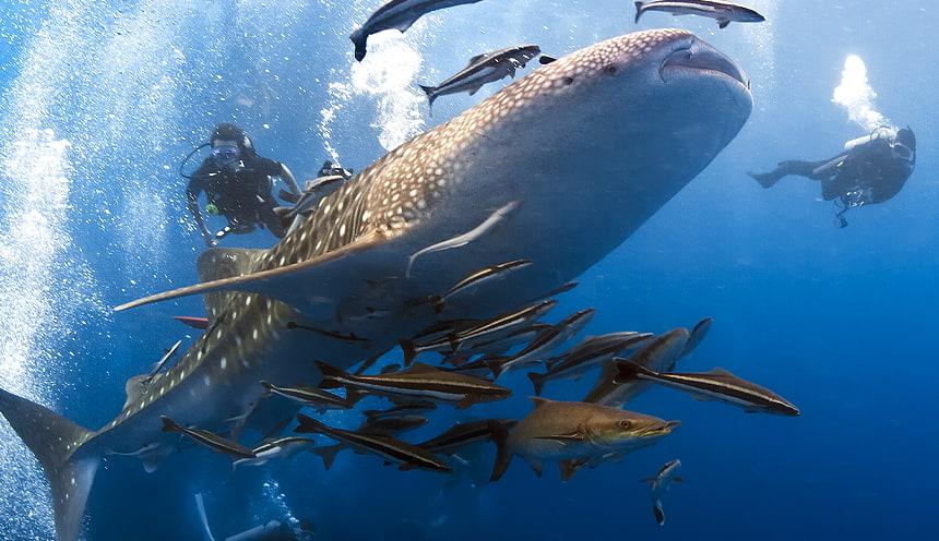 In primo piano uno squalo balena circondato da altri piccoli pesci e due sub