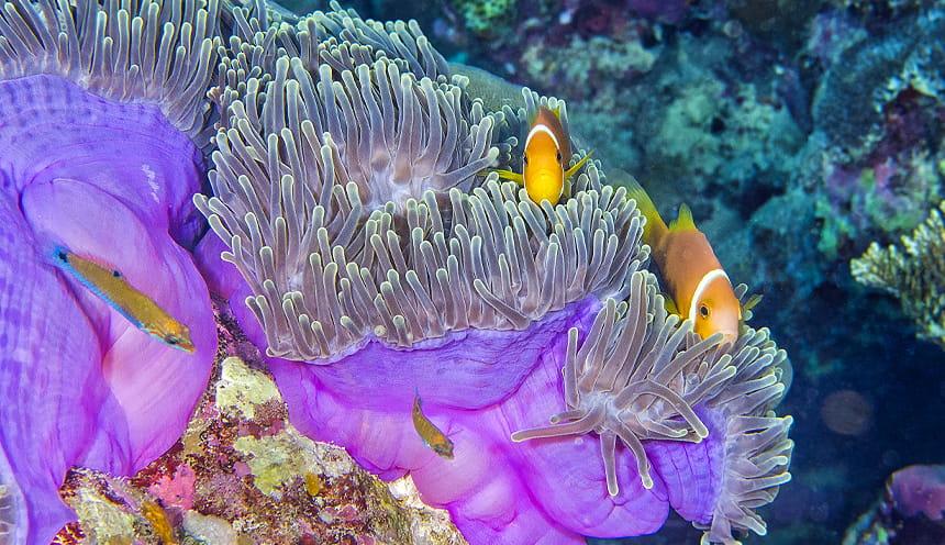Due piccoli pesci color arancio tra alcuni coralli viola.